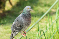Pigeon Portrait On A Fence Royalty Free Stock Image