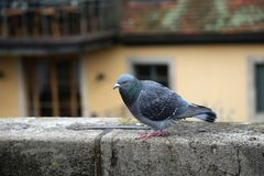 Pigeon portrait. In the park Stock Images