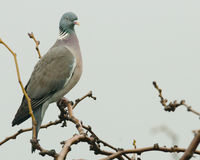 Pigeon portrait Royalty Free Stock Photography