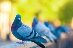 Pigeon posant au bord d'un pont image libre de droits