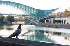 Pigeon posing with Tbilisi bridge Stock Photography