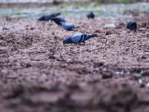 Pigeon pour la nourriture en Paddy Field Photo stock