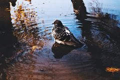 Pigeon. In a puddle Stock Images
