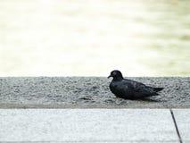 Pigeon que se reposant confortablement photos stock