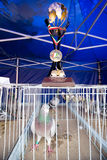 Pigeon racing champion Stock Photography