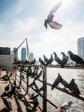 Pigeon on rail. Chao Phraya River background Stock Photos