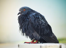 Pigeon after rain Royalty Free Stock Images