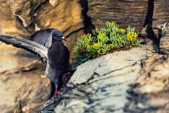 A pigeon ready to fly in  Riomaggiore 5 Terre Italy stock image