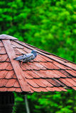 Pigeon on red roof. Pigeon is walking on red roof Royalty Free Stock Photo