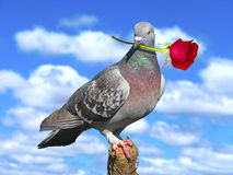 Pigeon with red rose. Royalty Free Stock Photo