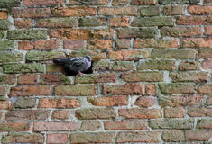 A pigeon relaxing in the brickwork Stock Image