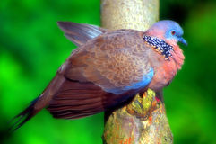 Pigeon repéré photo stock