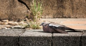 Pigeon rest on the floor Stock Image