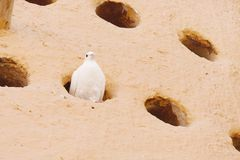 Pigeon resting in a Dovecote at Katara village, Qatar Royalty Free Stock Photos