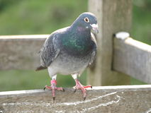 Pigeon resting on a fence in the countryside Stock Image