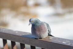 Pigeon is resting on a railing Royalty Free Stock Photography