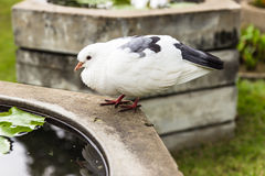 A pigeon resting on the wall in garden Stock Photo