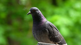 The pigeon rests after eating. In the background, a blurred green foliage of trees. Sunny summer day in the city park.  stock footage