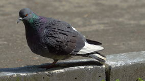 The pigeon rests after eating. The dove cleans its feathers of dirt and dust. Sunny summer day in the city park stock video footage