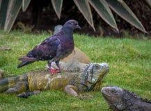 Pigeon riding an iguana - Guayaquil, Ecuador. Pigeon riding an iguana in Guayaquil Seminar Park royalty free stock photos