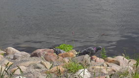 Pigeon on the riverbank stock video