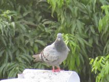 The Pigeon or rock dove or rock pigeon or Columba livia bird in India. Royalty Free Stock Image