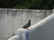 The Pigeon or rock dove or rock pigeon or Columba livia bird in India. Royalty Free Stock Photography