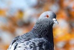 Pigeon. A pigeon or rock dove, Columba livia. Its orange eyes echo the autumn foliage stock photography