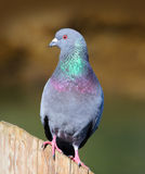 Pigeon (Rock Dove). A Pigeon on a Post royalty free stock photos