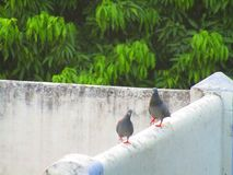 The Pigeon or rock dove or rock pigeon or Columba livia bird in India. Stock Photo