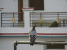 The Pigeon or rock dove or rock pigeon or Columba livia bird in India. Stock Images