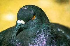 The pigeon. Stock Photography