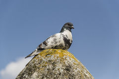 Pigeon On Rock Stock Images