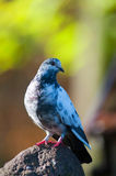 Pigeon on a rockin. The autumn Royalty Free Stock Image