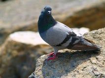 Pigeon on rocks of a bay the Noviy Svet (2) Stock Images