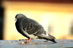 Pigeon on the roof. In the summer time Royalty Free Stock Photography