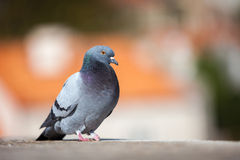 Pigeon on the roof Royalty Free Stock Photo