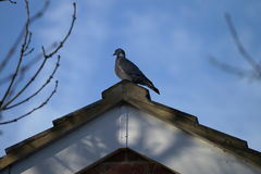 Pigeon on the roof. Common wood pigeon on the roof with blue sky background Royalty Free Stock Image