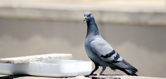 Pigeon on roof drinking water stock photo