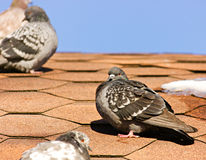 Pigeon on the roof Royalty Free Stock Photos