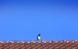Pigeon on roof - Horizontal scene Stock Photo