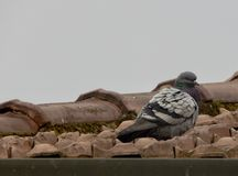 A pigeon on the roof of a house Stock Photo