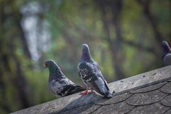 Pigeon on roof of house. The gray beautiful feral pigeon standing on roof. Behind it is the sky background is beautiful royalty free stock photo