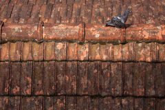 Pigeon roof plague. Pigeon walking on dirty roof Stock Photo
