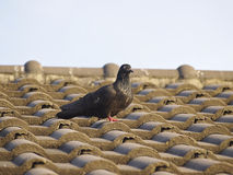 Pigeon on roof Stock Photo