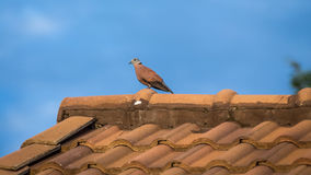 Pigeon on the  roof Royalty Free Stock Photography