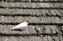 Pigeon on the roof. White pigeon on the roof of the old shingles stock photos