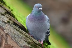 Pigeon on a rooftop. Close up portrait of a pigeon perching on a mossy rooftop Royalty Free Stock Photo
