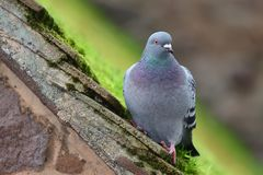 Pigeon on a rooftop. Close up portrait of a pigeon perching on a mossy rooftop Royalty Free Stock Images