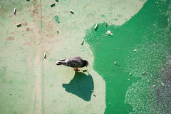 Pigeon on a rooftop Royalty Free Stock Images